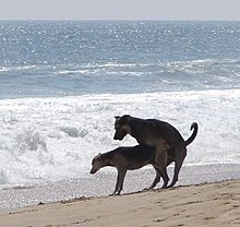 Canine reproduction - Wikipedia, the free encyclopedia