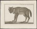 Canis aureus - 1750-1776 - Print - Iconographia Zoologica - Special Collections University of Amsterdam - UBA01 IZ22200033.tif