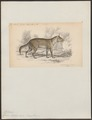 Canis azarae - 1833-1866 - Print - Iconographia Zoologica - Special Collections University of Amsterdam - UBA01 IZ22200321.tif
