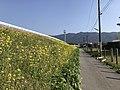 Canola field near Zendoji Temple 2.jpg