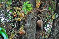 CanonBall tree2.jpg