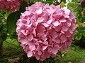 Cantabria hortensia ni.JPG