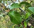 Canthium coromandelicum 28.JPG