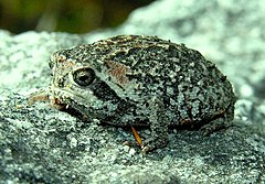 Cape Mountain Rain Frog - Breviceps montanus.jpg