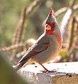 Cardinalis sinuatus 3.jpg