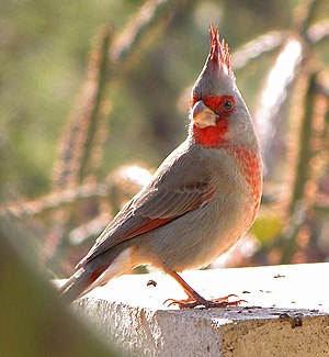 Cardinal (bird) - A Cardinalis sinuatus in Tucson, Arizona