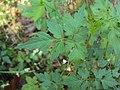Cardiospermum halicacabum 18.JPG