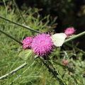 Carduus thoermeri-IMG 5631.jpg