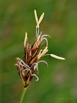Carex divisa ear (15).jpg