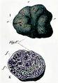 Carlo Vittadini - Tuber macrosporum.png