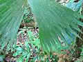 Carludovica palmata, the Panama Hat Plant (9725804005).jpg