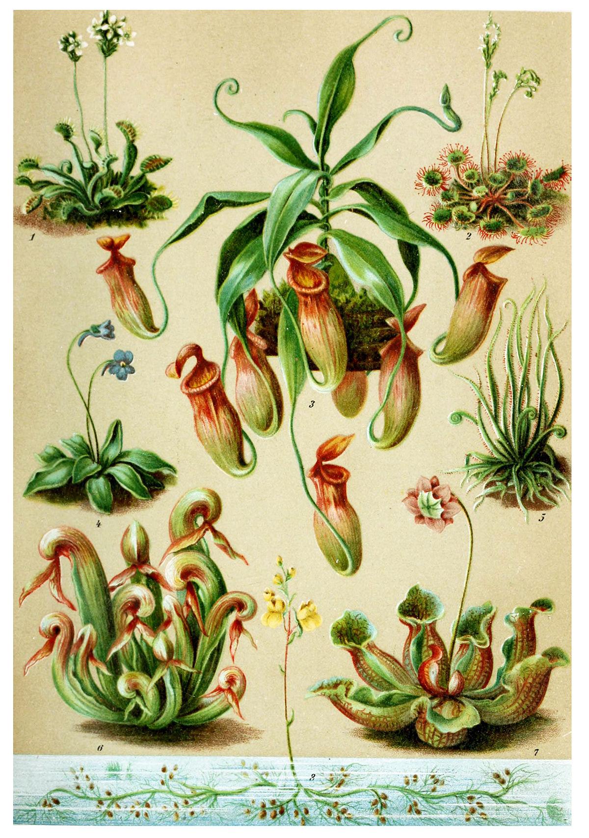 plante carnivore 9 lettres