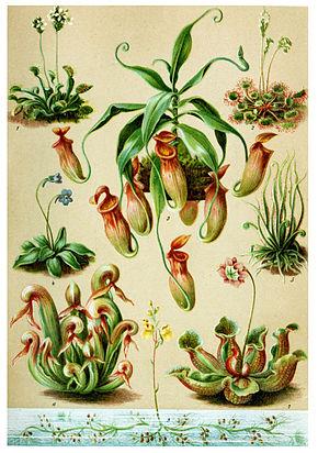 Plantes carnivores, différentes stratégies de pièges