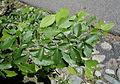 Carpinus tschonoskii - Arnold Arboretum - DSC06905.JPG