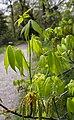 Carya glabra leaves.jpg