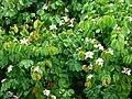 Casco de buey - Casco de vaca (Bauhinia variegata) (14965155199).jpg