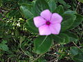 Catharanthus roseus-2-yercaud-salem-India.JPG