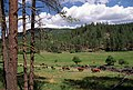 Cattle grazing, Ochoco National Forest (35758540384).jpg