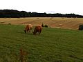 Cattle grazing2.JPG