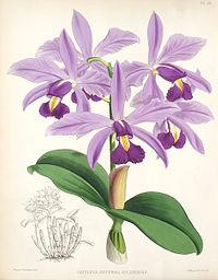 Cattleya violacea1