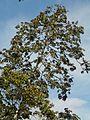 Cecropia peltata Linnaeus - 2013 001.jpg