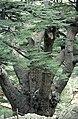 Cedars10(js).jpg