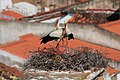 Cegonha-branca (Ciconia ciconia) 1 (14021990342).jpg