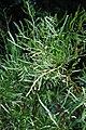 Centipede Plant 03 Pengo.jpg