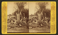 Century plant, from Robert N. Dennis collection of stereoscopic views 5.png