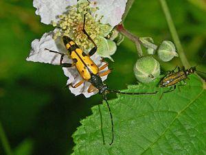 Rutpela maculata - Rutpela maculata. Male
