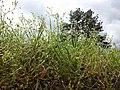 Cerastium tenoreanum sl18.jpg