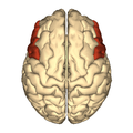 Cerebrum - inferior frontal gyrus - superior view.png