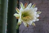 Cereus hildmannianus ssp. uruguayanus181509467