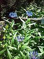Chaber górski Centaurea montana.jpg