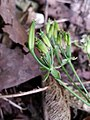 Chaerophyllum temulum inflorescence (28).jpg