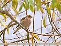 Chaffinch (Fringilla coelebs) (41350145095).jpg