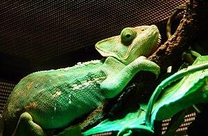Chameleon Veterinarian