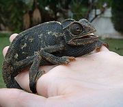 This Mediterranean Chameleon (Chamaeleo chamaeleon) turned black after being frightened by a dog