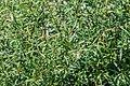 Chamerion angustifolium in Jardin des 5 sens.jpg