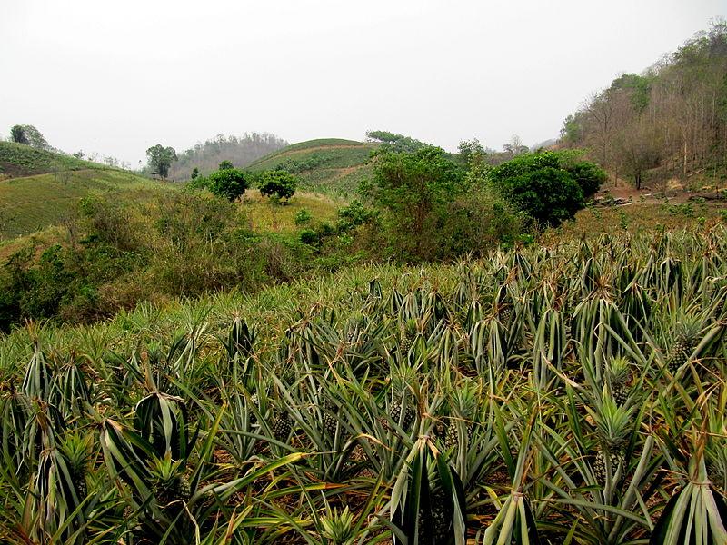 Uprawa ananasów w Tajlandii