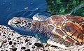 Chelonia mydas (Hawaiian variety).jpg