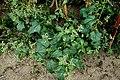 Chenopodium hybridum plant (14).jpg