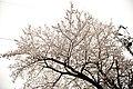 Cherry blossom, Japan; March 2013 (01).jpg