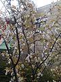 Cherry blossoms in Fukuoka 20160330.jpg