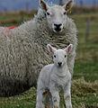 Cheviot ewe with lamb.jpg