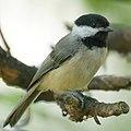 Chickadee (4736411061).jpg