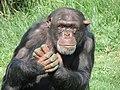 Chimpanzee Attica Zoological Park.jpg