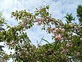 China garden in blossom, Saint Petersburg, Russia 02.jpg
