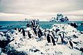 Chinstrap penguins at Cape Geddes Laurie Island 1962.jpg