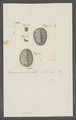 Chiton spec. - - Print - Iconographia Zoologica - Special Collections University of Amsterdam - UBAINV0274 081 06 0027.tif